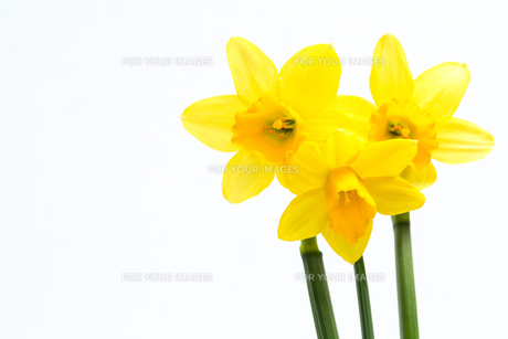 Pretty yellow daffodils with copy spaceの写真素材 [FYI00488499]