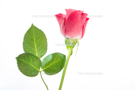 Single pink rose with three leavesの写真素材 [FYI00488500]