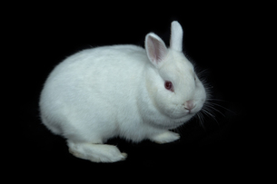 Vienna white rabbitの素材 [FYI00488506]