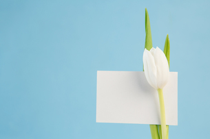 White tulip with a blank card on a blue backgroundの写真素材 [FYI00488523]