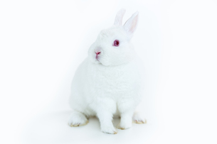 White bunny facing cameraの素材 [FYI00488524]