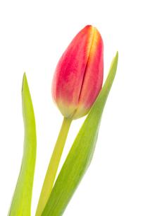 Single pink and yellow tulipの写真素材 [FYI00488528]