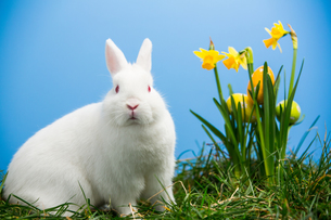 White fluffy bunny sitting beside daffodils with easter eggsの写真素材 [FYI00488533]