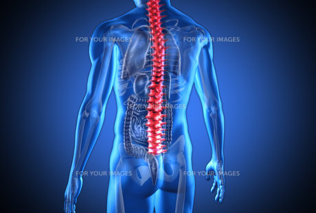 Digital blue human with highlighted red spine and visible organsの素材 [FYI00488578]