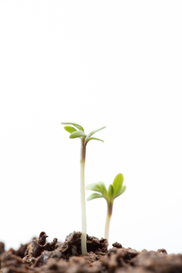 Seedlings in dirtの素材 [FYI00488645]