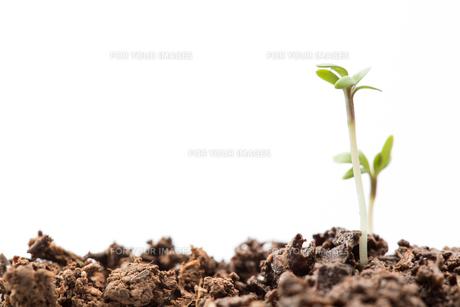 Two seedlings in dirtの素材 [FYI00488661]