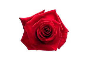 Red roseの写真素材 [FYI00488736]
