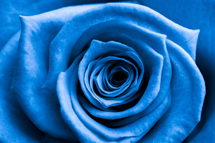 Close up of blue roseの素材 [FYI00488779]