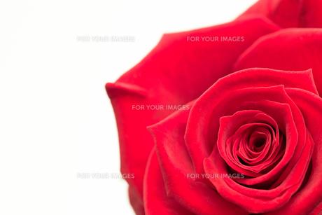 Closeup of pink roseの写真素材 [FYI00488798]