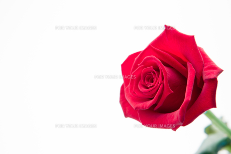 Blooming pink roseの写真素材 [FYI00488810]