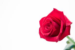 Blooming pink roseの素材 [FYI00488810]