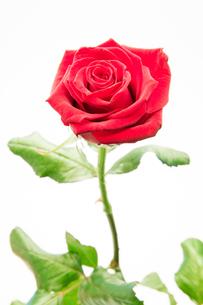 Beautiful pink roseの写真素材 [FYI00488818]