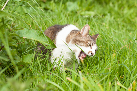 Angry cat in green grassの写真素材 [FYI00488864]