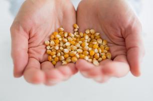 Woman holding corn grainの写真素材 [FYI00488888]