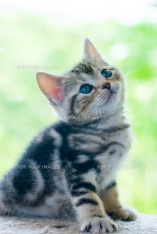小首を傾げる子猫の写真素材 [FYI00488982]