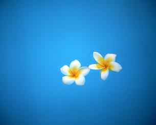 水面に浮かぶ花の素材 [FYI00491997]