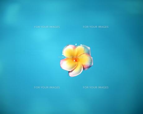 水面に浮かぶ花の素材 [FYI00491998]