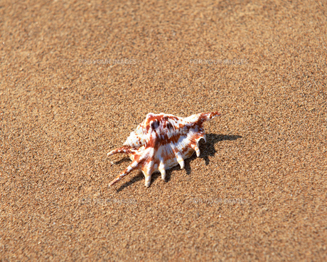 貝殻の素材 [FYI00492003]