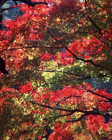 紅葉の写真素材 [FYI00492101]