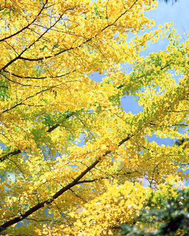 黄葉の写真素材 [FYI00492110]