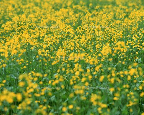 花畑の写真素材 [FYI00492240]