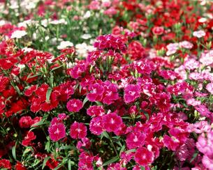 花畑の写真素材 [FYI00492273]
