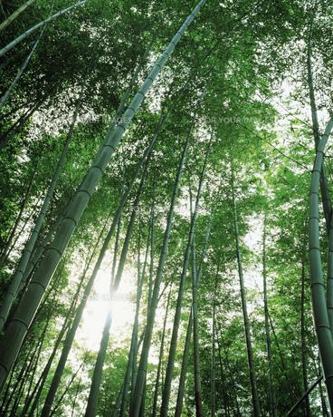 竹林の素材 [FYI00492884]