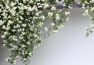 塀と白い花の素材 [FYI00495761]