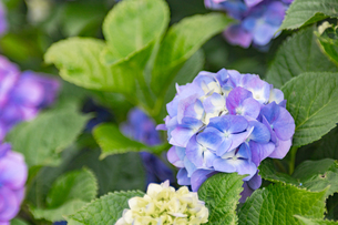 紫陽花の写真素材 [FYI00495769]