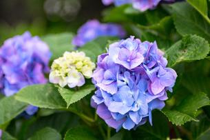 紫陽花の写真素材 [FYI00495770]