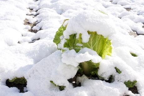 雪を被った白菜の写真素材 [FYI00495867]