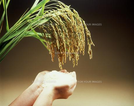 稲穂と米を持つ手の素材 [FYI00496059]