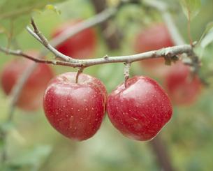 実るリンゴ(フジ)の写真素材 [FYI00496206]