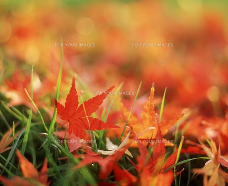 赤い落ち葉のアップの素材 [FYI00496505]