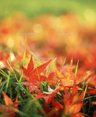 赤い落ち葉のアップの素材 [FYI00496509]