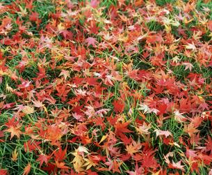 紅葉の落ち葉の素材 [FYI00496511]