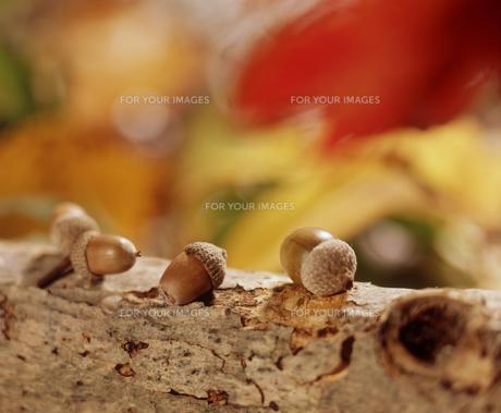 木の上のドングリの素材 [FYI00496514]