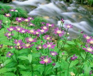 小川とミヤコワスレの花の素材 [FYI00496523]