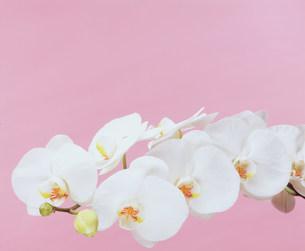 白いコチョウランの写真素材 [FYI00496547]