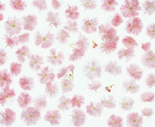 フラワーイメージ 八重桜パターンの写真素材 [FYI00496565]