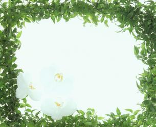 胡蝶蘭とグリーンの額の写真素材 [FYI00496569]