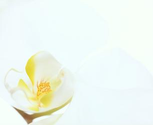 フラワーイメージ 胡蝶蘭の写真素材 [FYI00496590]