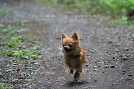 散歩する小さな犬の写真素材 [FYI00497059]