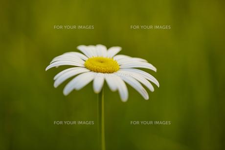 白い花の素材 [FYI00497247]