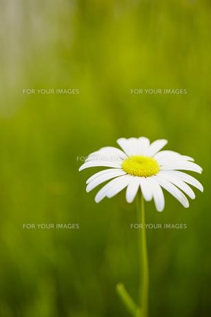 白い花の素材 [FYI00497259]