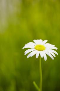 白い花の写真素材 [FYI00497259]