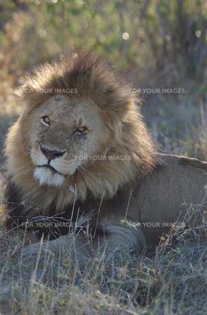 ライオンの素材 [FYI00497472]