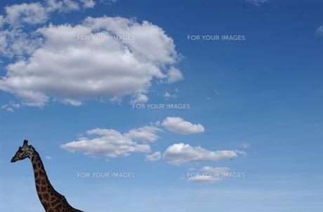 青空のキリンの写真素材 [FYI00497474]