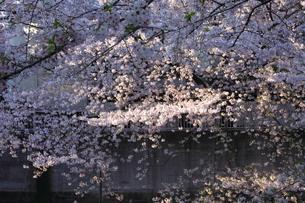 満開の桜の木の写真素材 [FYI00497488]