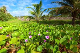海岸沿いに生息する植物と紫の花の写真素材 [FYI00497491]